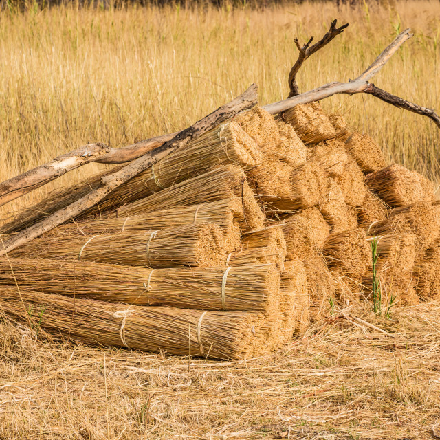 """""""Cut Grass Bundled for Thatching"""" stock image"""