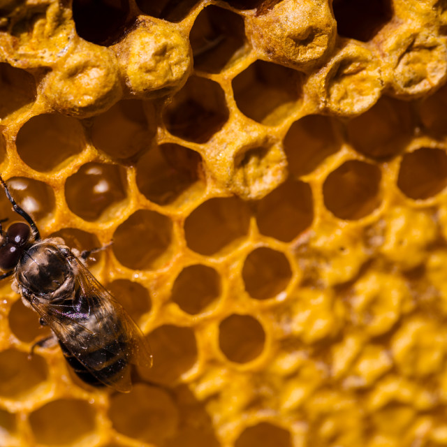 """Newborn bee on honeycomb"" stock image"