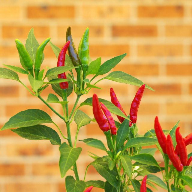 """red chilie plant"" stock image"
