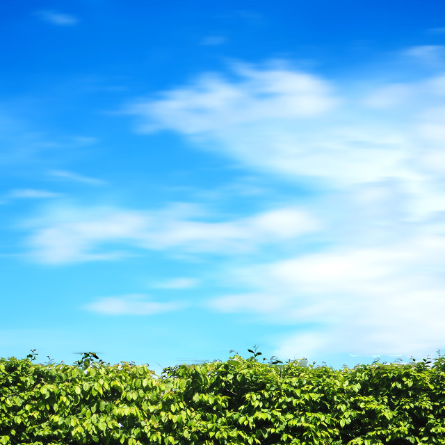 """""""Green Hedge against a deep blue sky."""" stock image"""