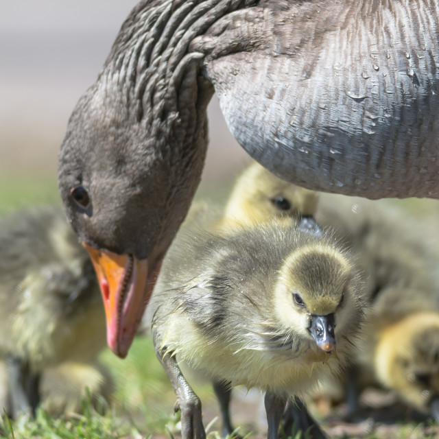 """Greylag Goose and goslings"" stock image"
