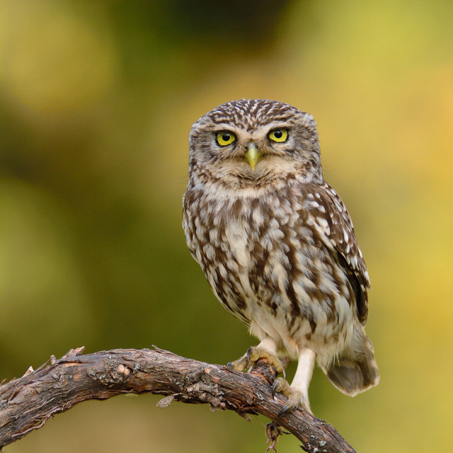 """""""A little owl perched on a branch."""" stock image"""
