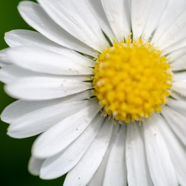 """Common daisy, Bellis perennis, white flower head super macro sho"" stock image"