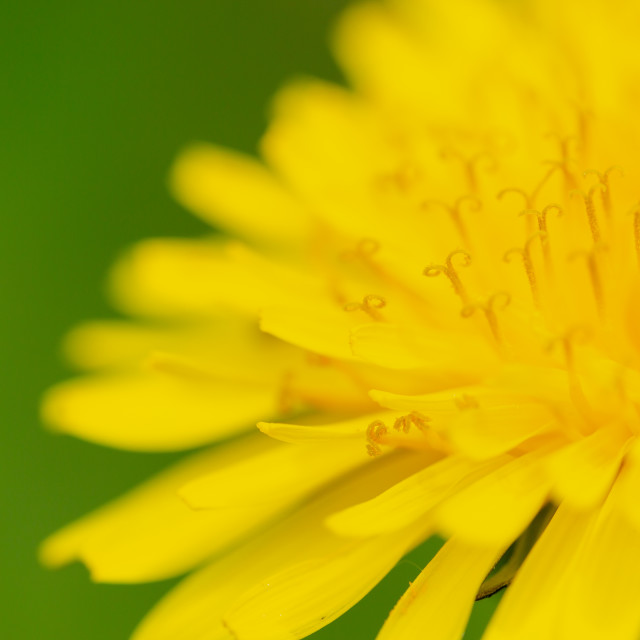 """Common Dandelion, Taraxacum officinale, extreme macro on yellow"" stock image"