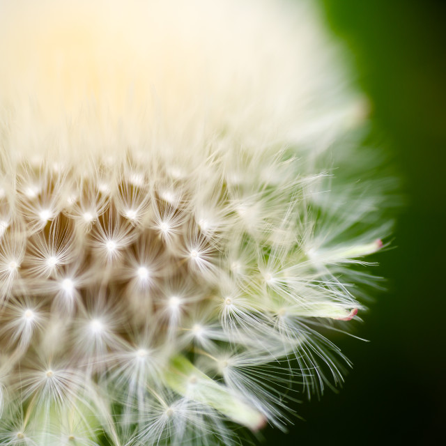 """""""Dandelion, Taraxacum, flower head with connected seeds super extreme macro. Full frame opaque backgrounds. Horizontal low angle perspective with shallow depth of field crop"""" stock image"""