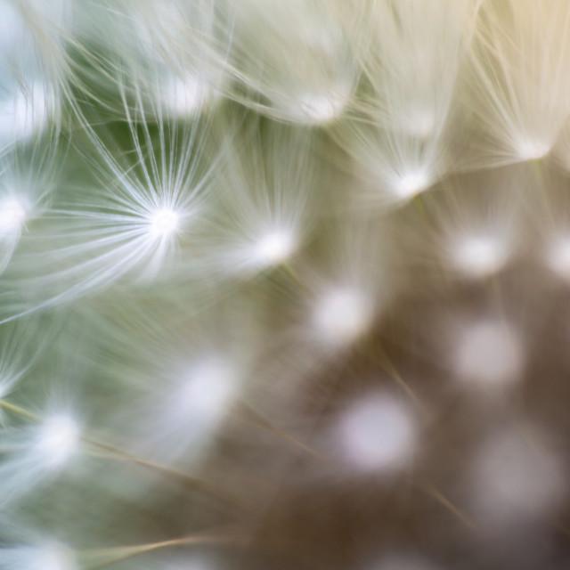"""Dandelion, Taraxacum, seeds connected to flower head super macro"" stock image"