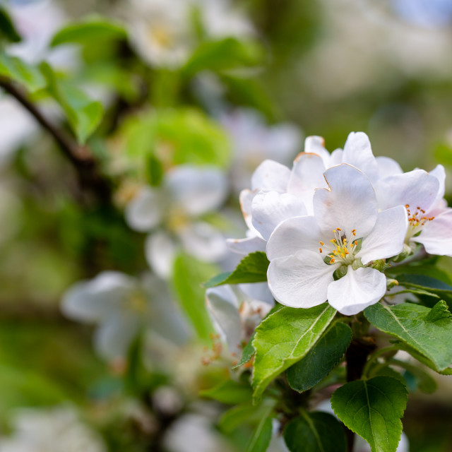 """""""Blossoming apple apple tree in orchard. Macro apple flower on ap"""" stock image"""