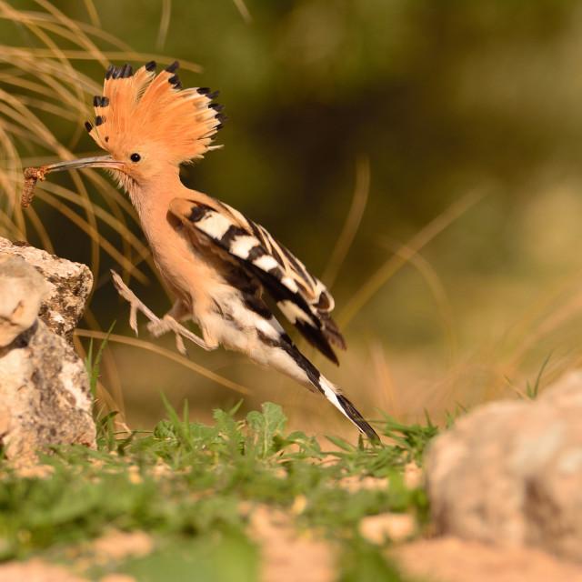 """Eurasian Hoopoe or Upupa epops, beautiful brown bird."" stock image"