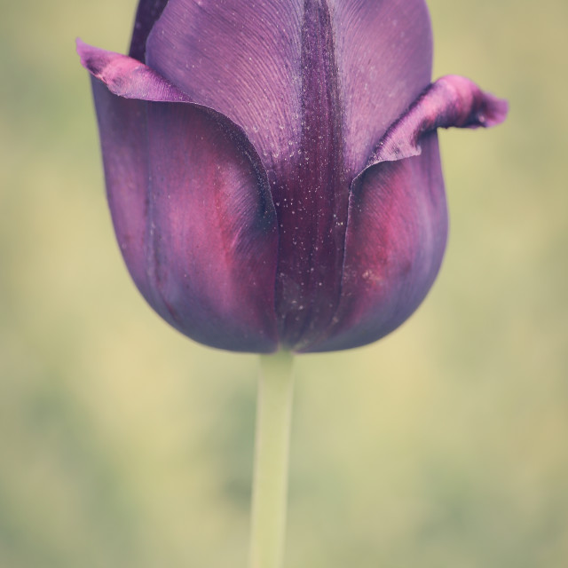 """Purple Tulip"" stock image"