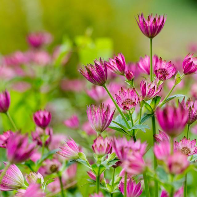"""Great masterwort, Astrantia major. Meadow full of ultra violet f"" stock image"