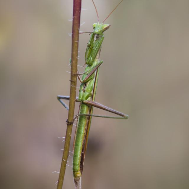 """""""Praying mantis, Mantis religiosa"""" stock image"""