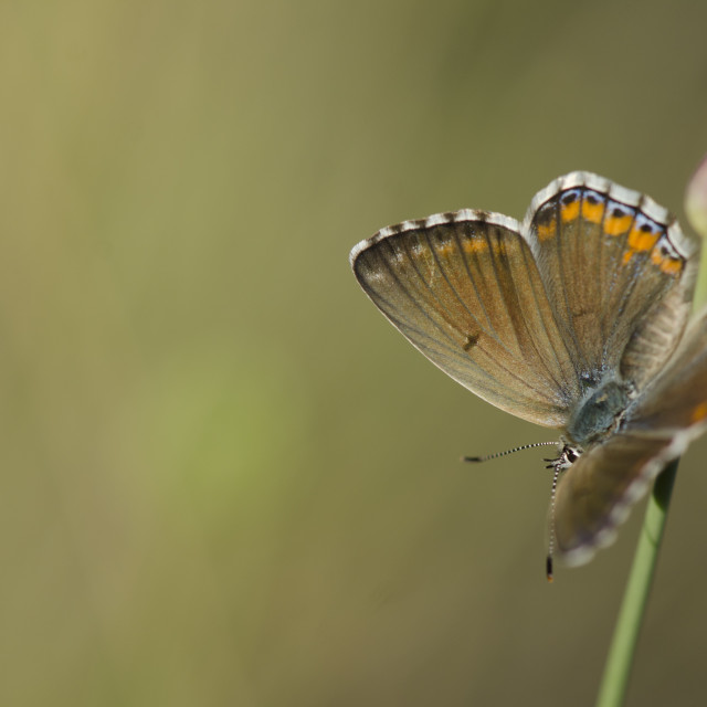 """Adonis blue butterfly Polyommatus bellargus"" stock image"