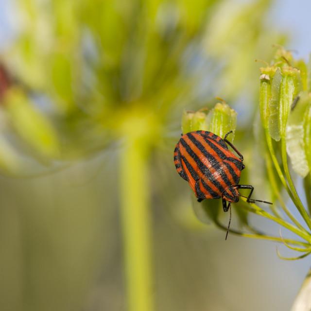 """Striped Shield Bug, Graphosoma lineatum"" stock image"