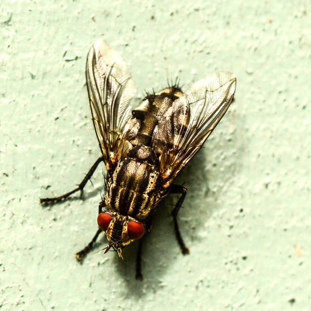"""Flesh Fly"" stock image"