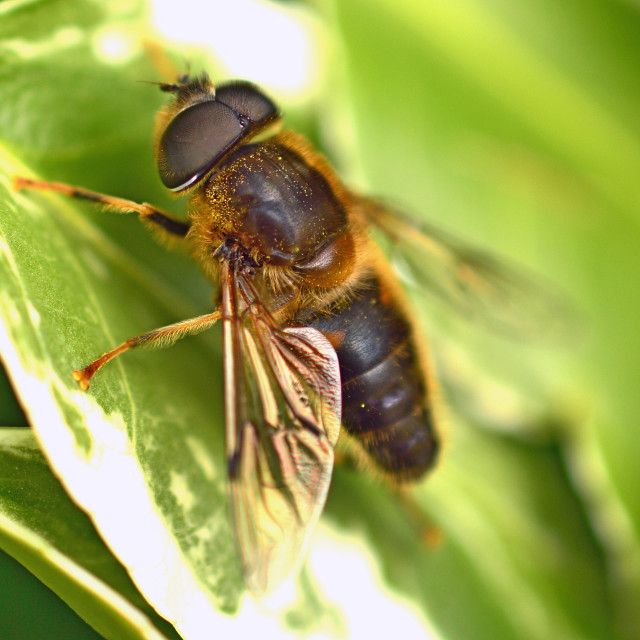 """""""Tapered Drone Fly, Eristalis"""" stock image"""