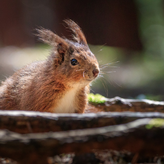 """""""Old red squirrel among the roots"""" stock image"""