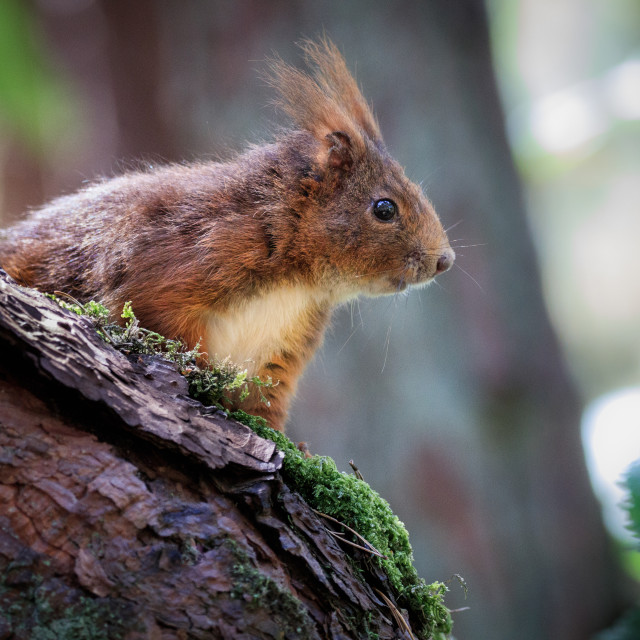 """Red squirrel behind trunk"" stock image"