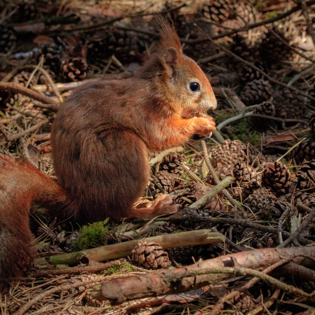 """""""Red squirrel eating a nut"""" stock image"""