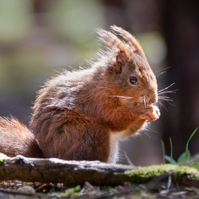 """""""Old squirrel eating a nut"""" stock image"""