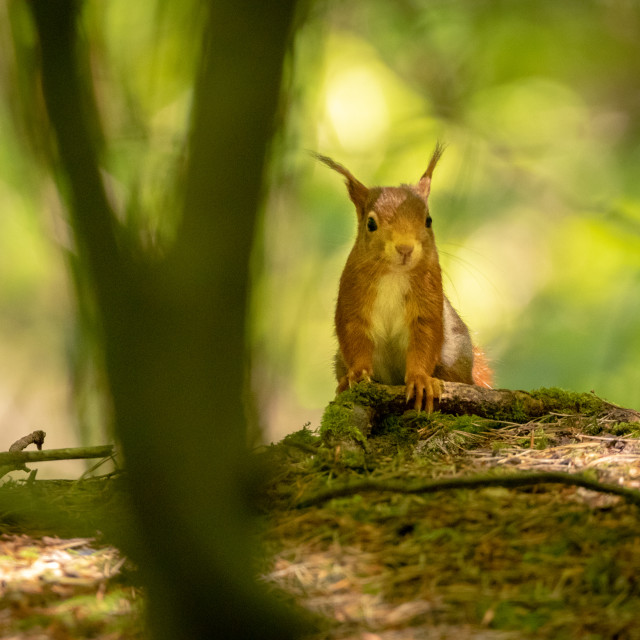 """Red Squirrel in the undergrowth"" stock image"