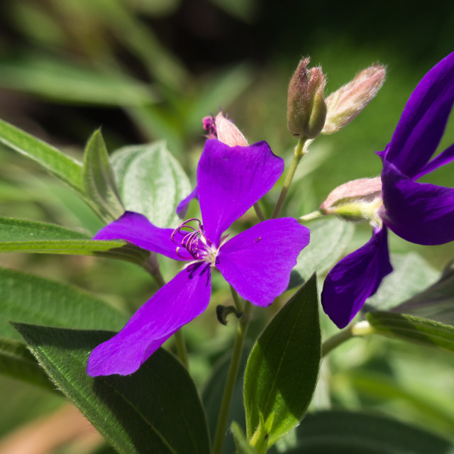 """Orchid tree flower - Bauhinia blakeana"" stock image"