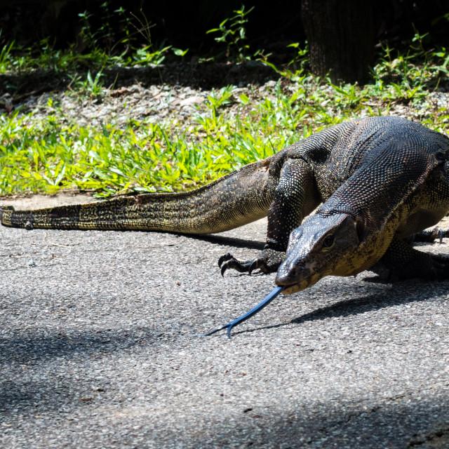 """""""Malayan Water Monitor Lizard"""" stock image"""