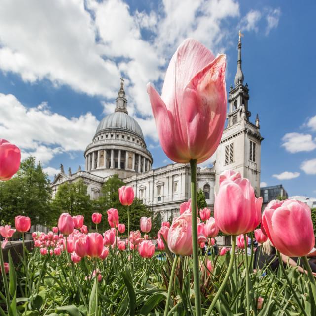 """Tulips In Spring"" stock image"