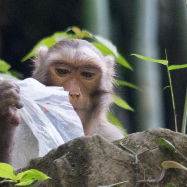 """Monkey with plastic bag"" stock image"