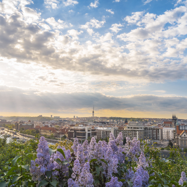 """""""Sunrise over Prague city and lilac flowers"""" stock image"""
