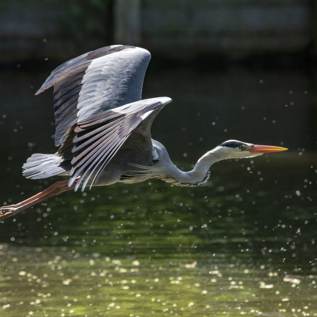 """Grey Heron (Ardea cinerea) (I)"" stock image"