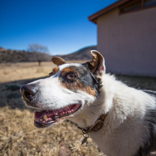 """Cute Ranch Dog"" stock image"
