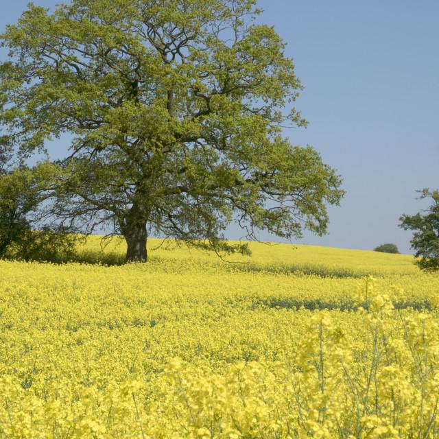"""""""Oak in a spring field."""" stock image"""