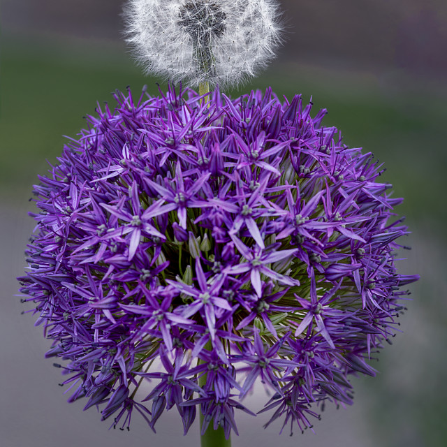 """Allium Purple Sensation Meets Dandelion"" stock image"