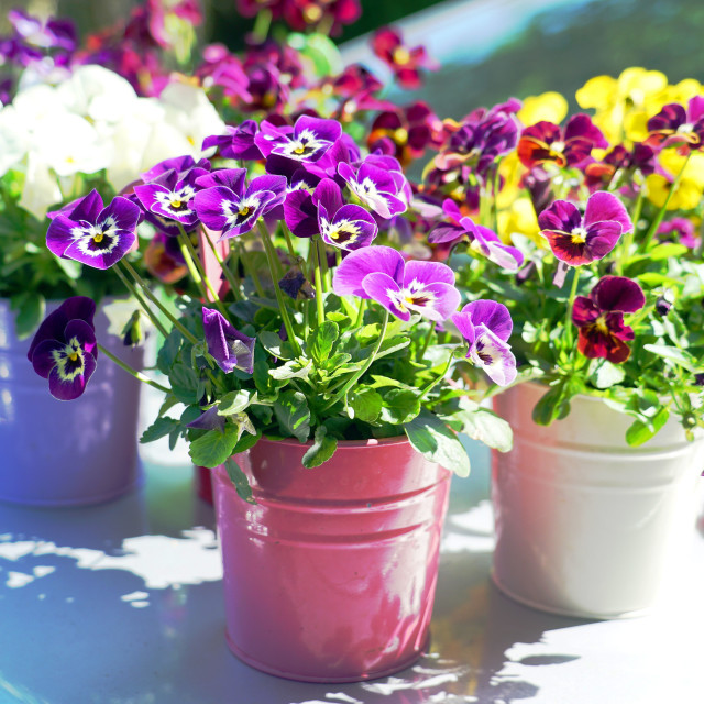 """Colourful Flowerpots"" stock image"