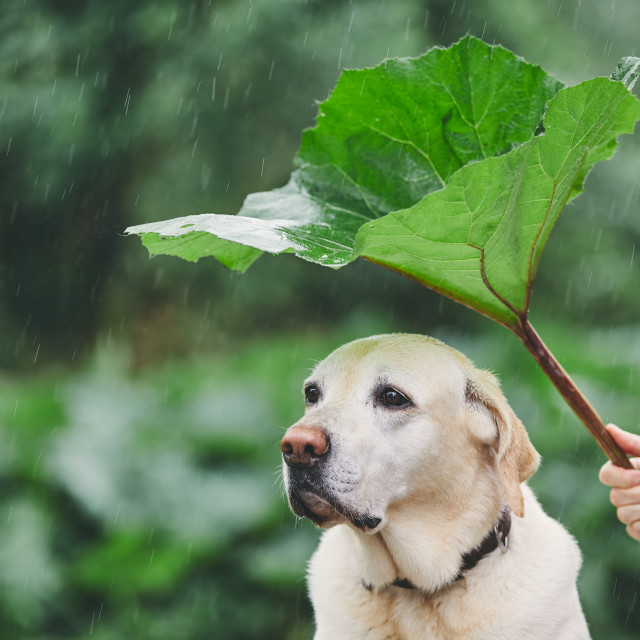 """Rainy day with dog in nature"" stock image"