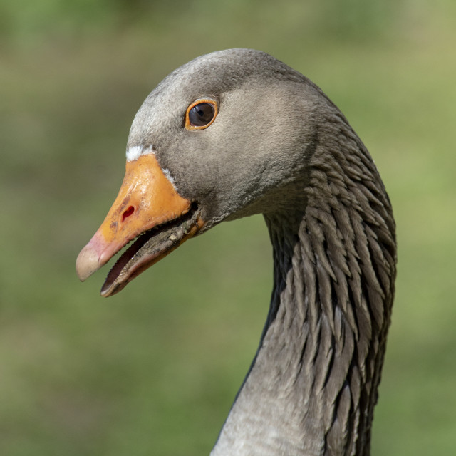 """Portrait of a Greylag Goose"" stock image"