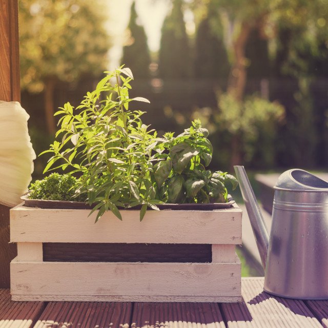 """White wooden pot with green herbs on a wooden terrace"" stock image"