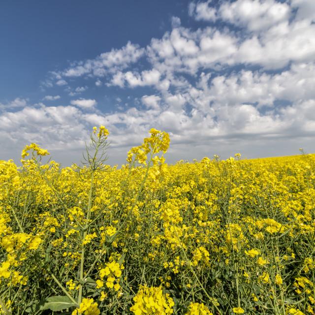 """yellow oilseed rape field"" stock image"
