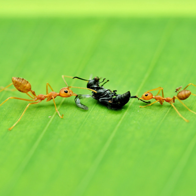 """Weaver ants and their prey"" stock image"