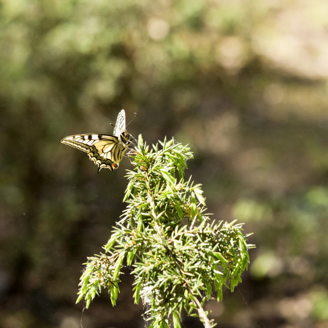 """""""Beautiful butterfly of the swallowtail-queen (Papilio machaon) on twigs of juniper in pine bores"""" stock image"""