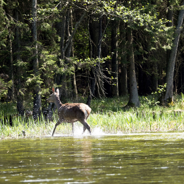 """""""Deer in the Wigry National Park on the Czarna Hańcza River"""" stock image"""