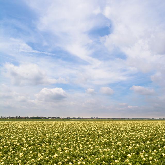 """""""Potatoe field"""" stock image"""