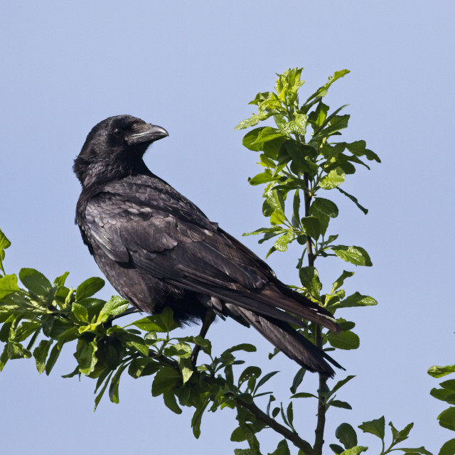 """""""Carrion crow, a member of the Corvid family, East Sussex, UK"""" stock image"""