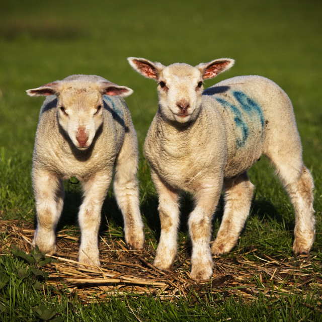 """""""Lambs on the Pevensey levels in East Sussex, UK"""" stock image"""