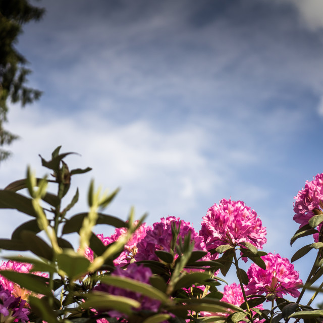 """violet flowering rhododendron, in front of a slightly cloudy sky, picture..."" stock image"