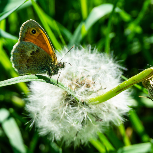 """Nice small orange butterfly sits on grass in front of faded dandelion"" stock image"