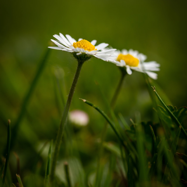 """Detail of two daisies with nice golden center in green grass"" stock image"