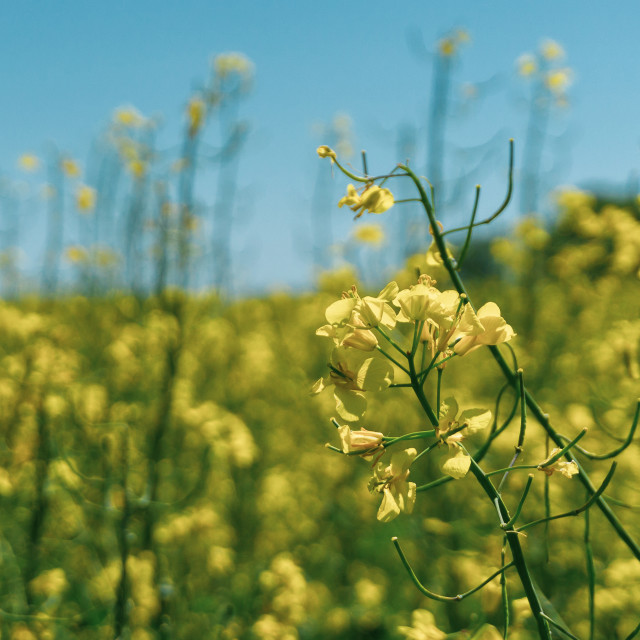 """Detail of single rapeseed plant with yellow blooms in front of other plants"" stock image"