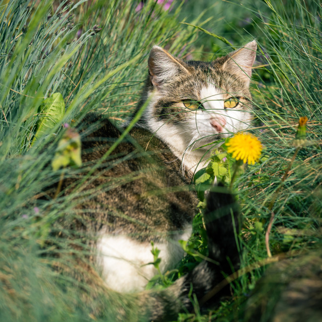 """Adult white and tabby kitten hidden among flowers and grass"" stock image"