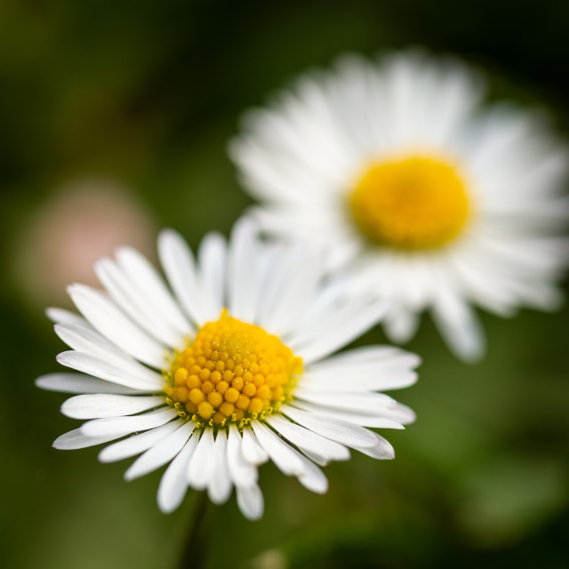 """Detail of two daisies with nice golden center which grow in green lawn"" stock image"